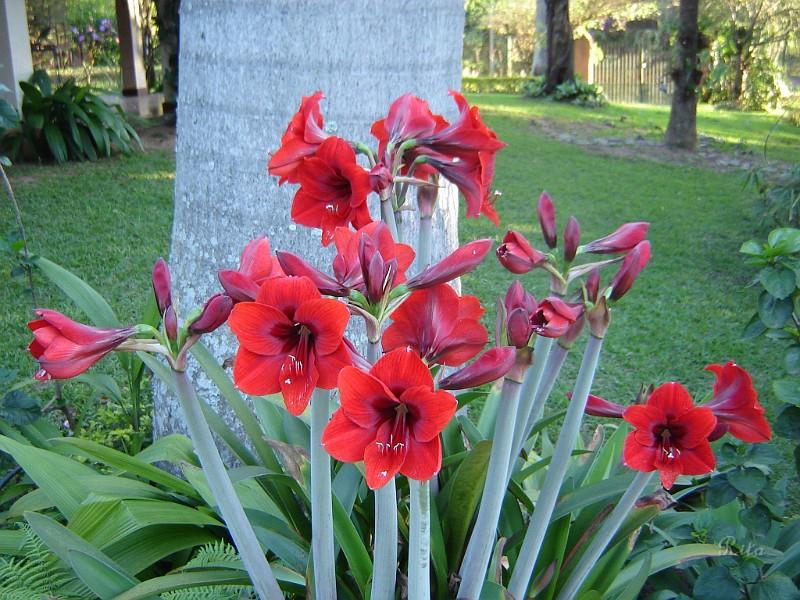 Paisagismo amarilis for Catalogo de flores de jardin