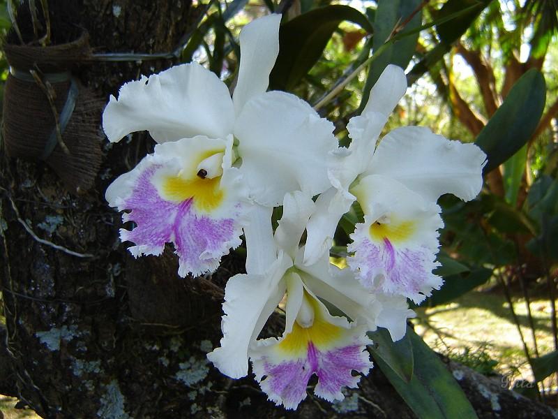 Flores, Jardins e Paisagismo/Orquidea33